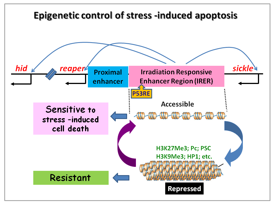 Epigenetic control of stress-induced apoptosis